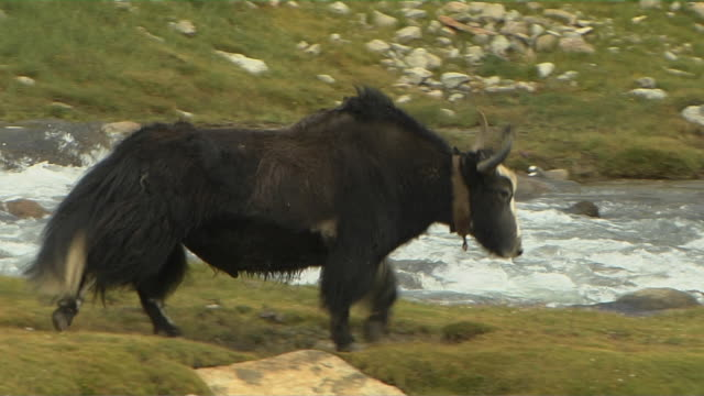 Long Shot Follow Shot Yak Walking Near River Lhasa Tibet China