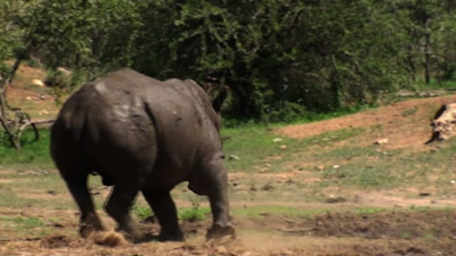 Long Shot hand-held - A rhinoceros turns and runs. / Johannesburg, South Africa