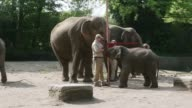 Long shot of a family of elephants Assam an Asian elephant is measured by zookeepers during a baby animals inventory at Hagenbeck zoo on May 16 2013...