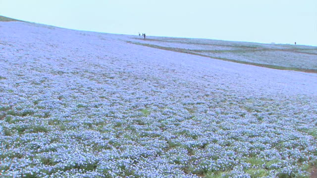 Long shot of a giant field of blue nemophila flowers stretches out over an area of 20000 square meters in Hitachinaka Kaihin Koen