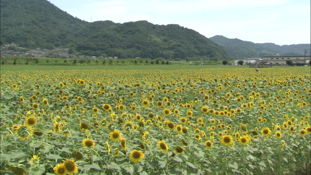 Long shot of fields of sunflowers