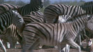 Long shot of herd of zebra and springbok walking about, Namibia