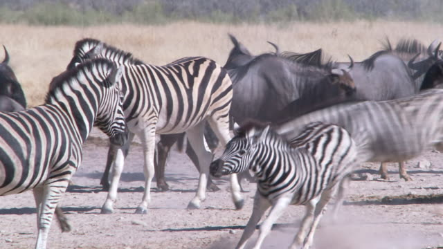 Long shot of herd of zebra, springbok and wildebeest walking about, Namibia