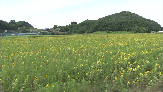 Long shot of sunflowers in bloom as far as the eye can see