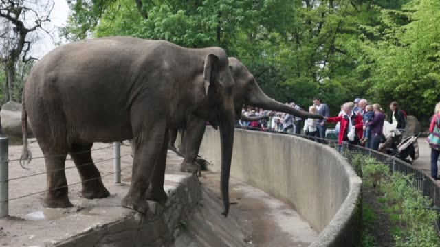 Long shot of two adult elephants Asian elephants get food from visitors at Hagenbeck zoo on May 16 2013 in Hamburg Germany Animals In The Zoo at...