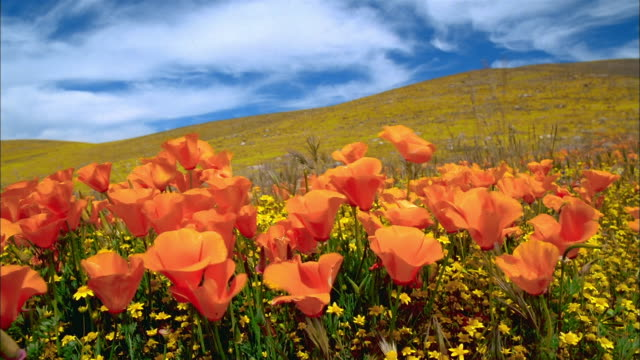 Long shot orange poppies swaying in wind in foreground / hill covered in yellow buttercup in background / Lancaster, CA