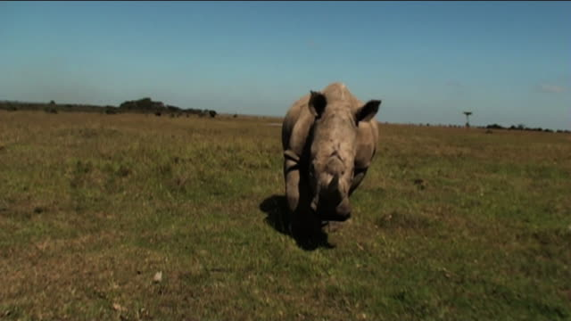 Long Shot push-out - A rhino charges across the savanna. / Kenya