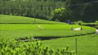 Long shot: Tea fields in the Ryogo-uchi area, Shizuoka, Japan