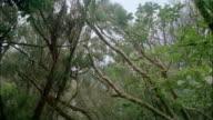 Long shot tilt down from treetops of gnarled trees in forest / Venezuela