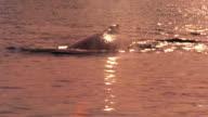 long shot whale surfacing + submerging in ocean / Glacier Bay, Alaska