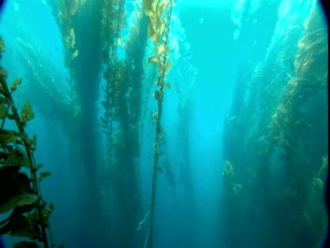 Long stalks of seaweed sway gently in the ocean's current.