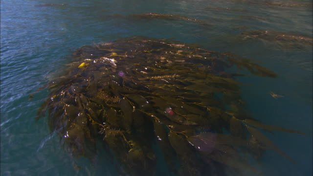 Long strands of kelp float on the surface of Fortesque Bay. Available in HD.