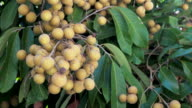 4K Longan Fruit Season in Thailand