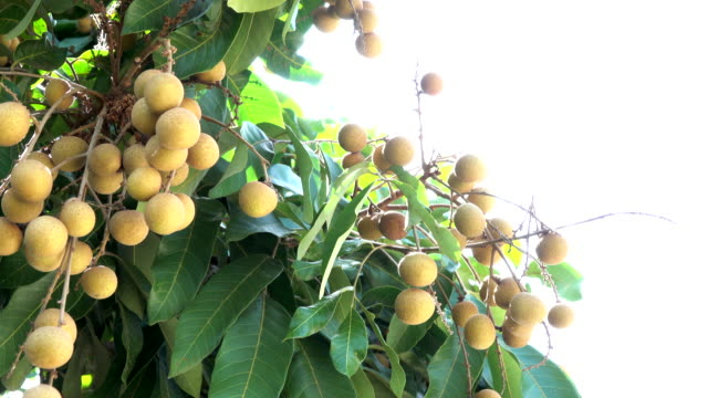 4K Longan Fruit Season in Thailand
