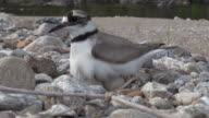 Long-billed Plover sitting on egg