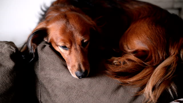 Long-haired Dachshund resting.