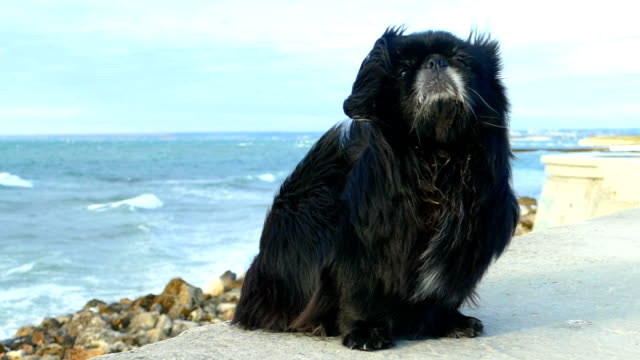 Long-haired domestic dog and a storm on the coast (slow motion)