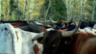 Longhorn Cattle in a holding pen