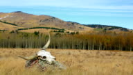 Longhorn Cattle skull in open pasture western concept