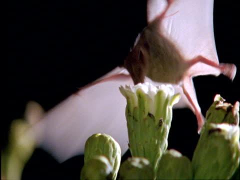 Long-nosed bat (Choeronycteris mexicana) visits Saguaro cactus flowers in Sonoran desert, Arizona, USA