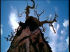 Look up gnarled and bare tree to clouds passing in sunny blue sky