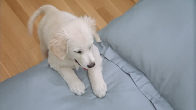 Looking down at golden retriever puppy leaning against side of bed with front paws on top of comforter and wagging tail / puppy looking up at camera / getting down from bed and walking away