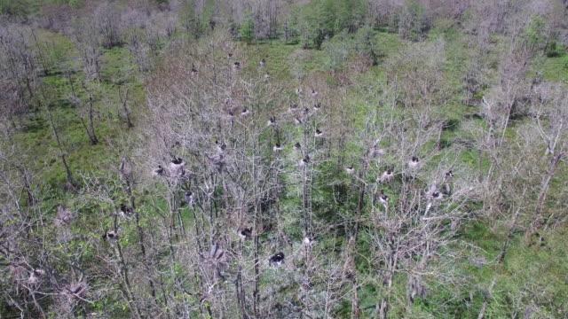 Looking down on birds in nest pull back - Drone Aerial 4K Everglades, Swamp bayou with wildlife alligator nesting Ibis, Anhinga, Cormorant, Snowy Egret, Spoonbill, Blue Heron, eagle, hawk, cypress tree 4K Nature/Wildlife/Weather