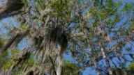 Looking up at Spanish moss hanging in cypress trees, blue sky, Caddo Lake, on the Texas/Louisiana border