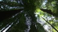 Looking up at treetops