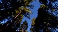 LA PAN to WS Tall Sequoia trees clear blue sky BG CA red wood
