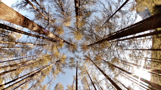 Lärche forest vom Boden Fischaugen-Objektiv