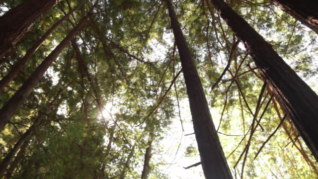 Looking up through the Redwoods