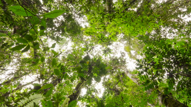 Looking up to the rainforest canopy in the Ecuadorian Amazon, time-lapse.