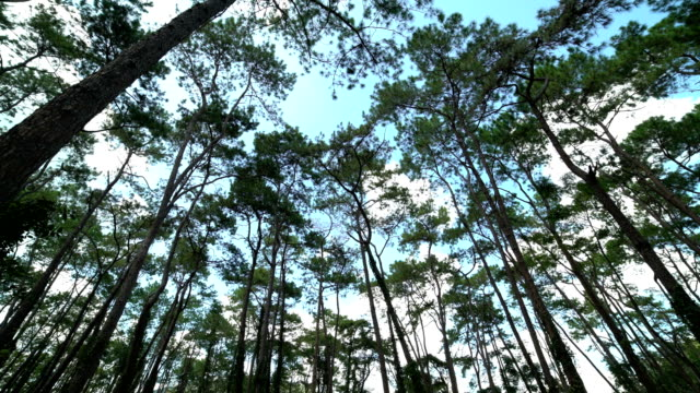 4K LOOP:shot of looking up at trees,Pine forest