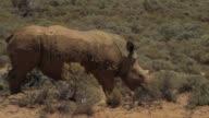 Los conservacionistas sudafricanos ingenian nuevas tacticas para luchar contra la caza furtiva de rinocerontes envenenan sus cuernos para que sean...