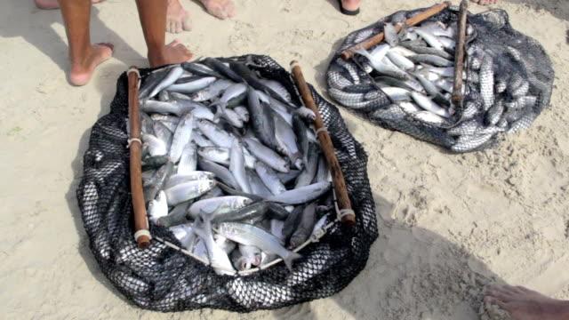 Viele Fisch