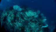 Lots of Gorgonian sea fan in undersea coral reef, Indonesia