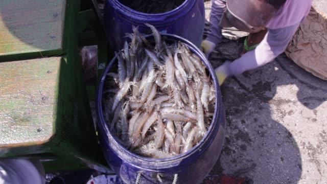 Lots of shrimp being poured into a bucket at Shrimp Farm in Yogjakarta, Java Indonesia. Medium shot