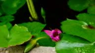 Lotus blooming