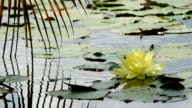 Lotus flower against the wind in pond and coconut leaf