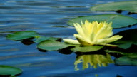 Lotus flower against the wind in pond