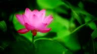 Lotus flower and leaves in wind