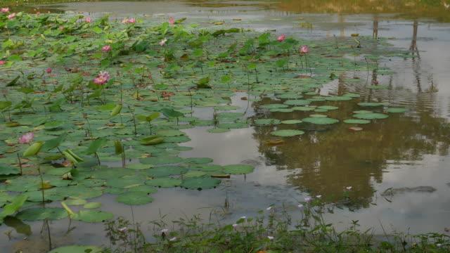 Lotusblomma och Lotus blomma växter