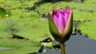 lotus flower blooming timelapse at lake