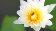 Lotus Flower with a bee