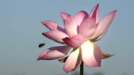 Lotus flower with bee pollination in the pond HD Video