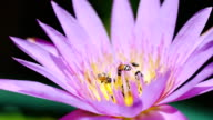 Lotus flower with bee pollination in the pond