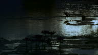 Lotus flowers silhouetted by moonlight reflecting off rippling lake at night, Siem Reap, Cambodia