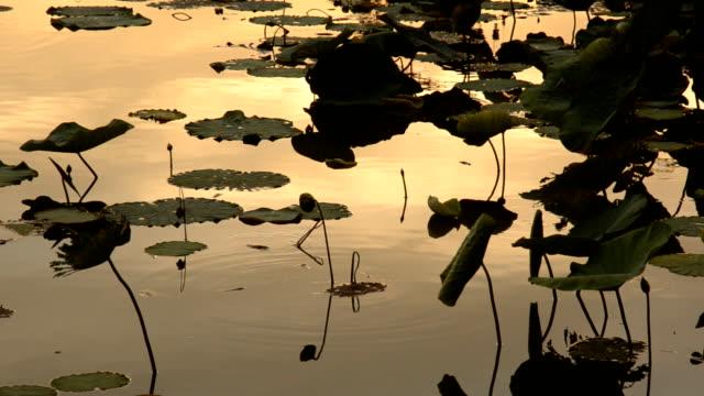 Lotus leaf at sunset