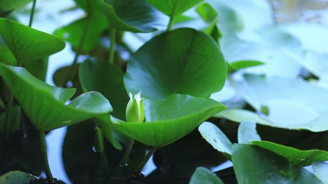 HD: Lotuses & water lilies